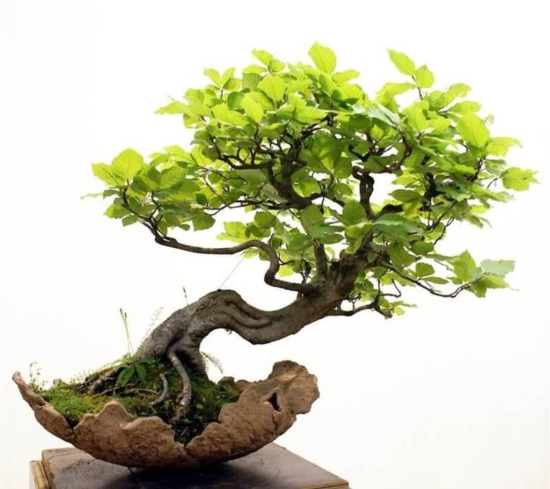 Hướng dẫn tỉa cây cảnh, cây bonsai và tạo thế cây đẹp
